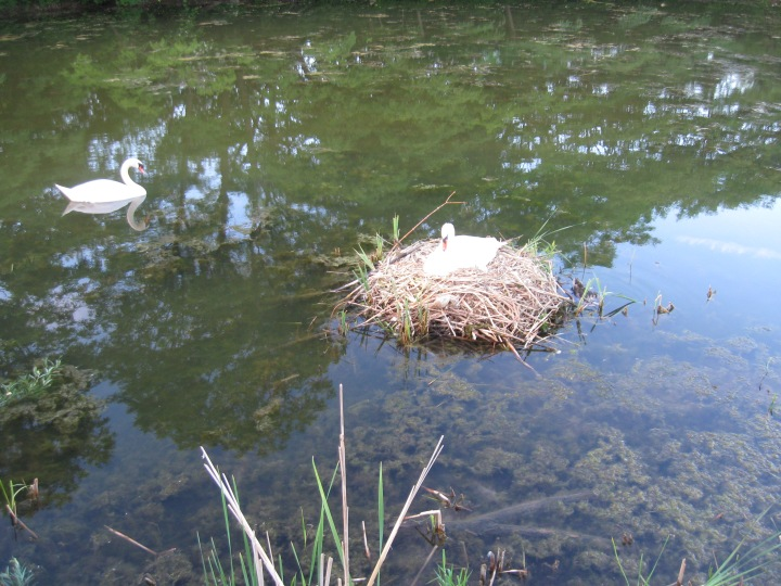 swan on her eggs in her next